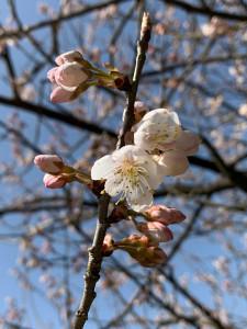 この桜はサクランボになります。小さいですが